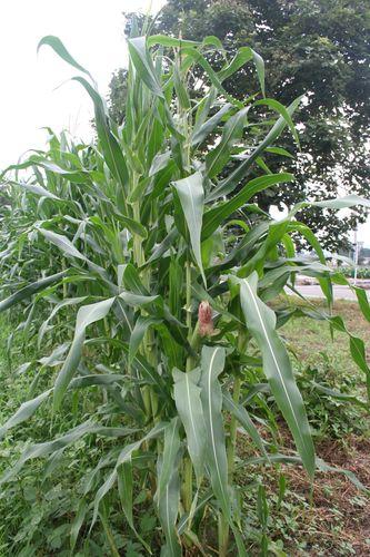 Corn and Radishes-10
