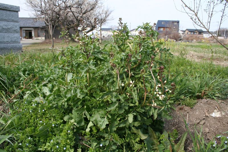 Volunteer Arugula & Flowering Tops