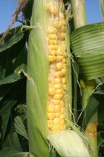 Corn and Radishes-8